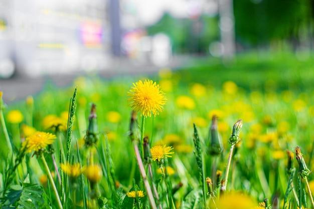 Żółty mniszek na zielonym trawniku