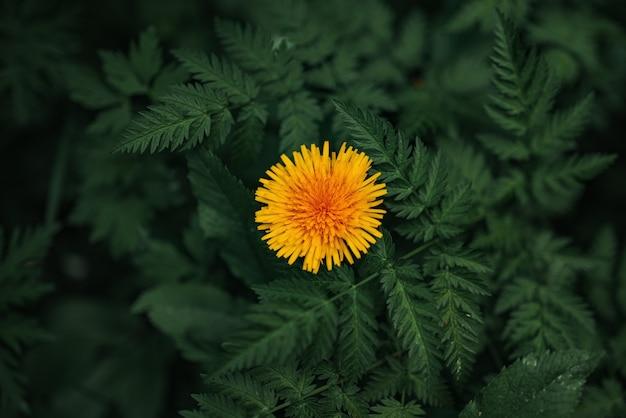 Żółty mniszek rośnie na zielonej łące, wiosna, lato