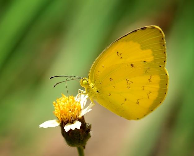 Żółty motyl na kwiacie