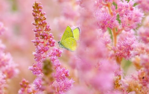 Żółty motyl na kwitnących różowych kwiatach astilba letnich tle