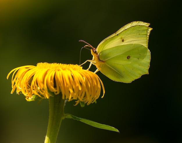 Żółty motyl pospolity (gonepteryx rhamni) siedzi na żółty kwiat pijąc nektar