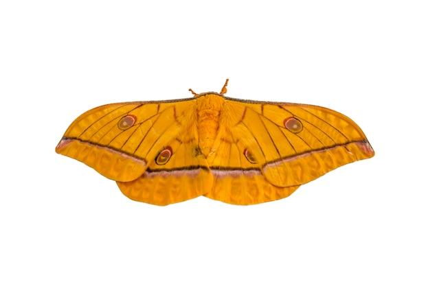 Żółty motyl