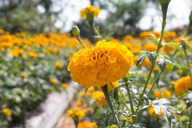 Żółty nagietek na kwiatu ogródzie