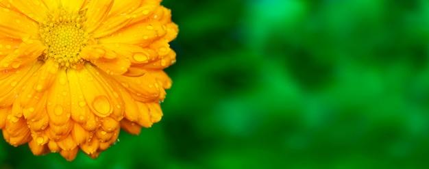 Żółty nagietek z mokrymi płatkami na ogrodowym tle