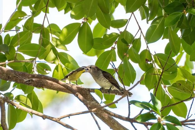 Żółty, oliwkowy ptak sunbird karmi małą kukułkę