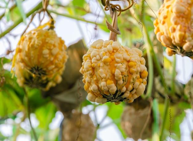 Żółty ozdobny owoc dyni (gurda brodawkowata) wiszący na drzewie z zielonym liściem w ekologicznej szklarni