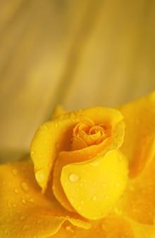 Żółty pączek róży ogrodowej z płatkami pokrytymi wodą