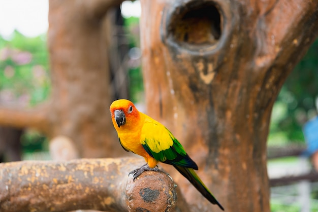 Żółty papuga ptak, słońce conure.