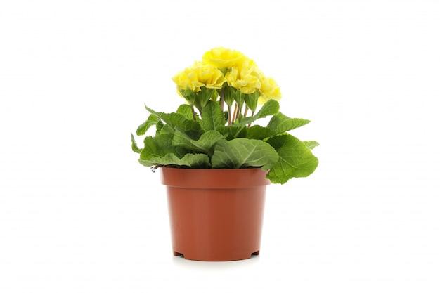 Żółty pierwiosnek w kwiatu garnku odizolowywającym na bielu odizolowywającym