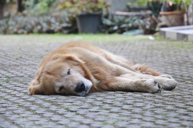 Żółty pies leżący na podłodze.