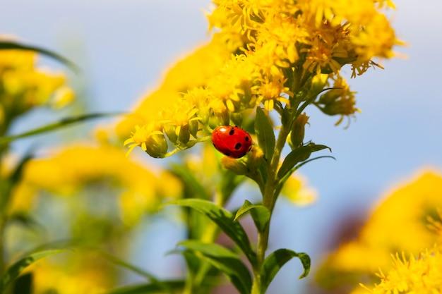Żółty płatek kwiatu z biedronką pod błękitnym niebem