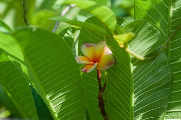 Żółty plumeria kwitnie z zielonymi liśćmi z selekcyjnej ostrości strzelaniną