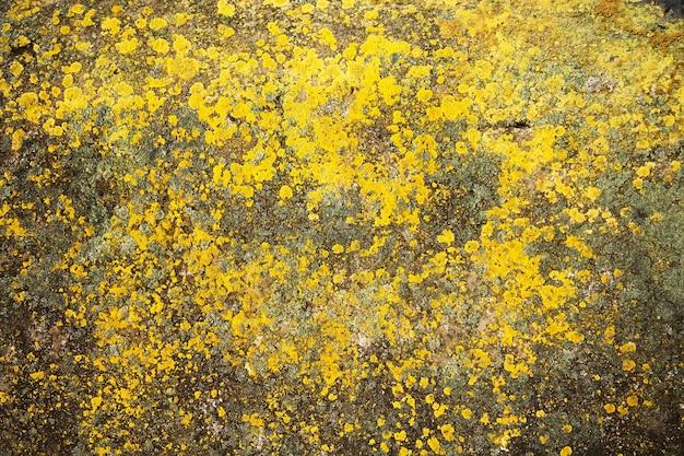 Żółty porost na kamieniu. żółta pleśń na szarej starej skale. naturalne tekstury tła.