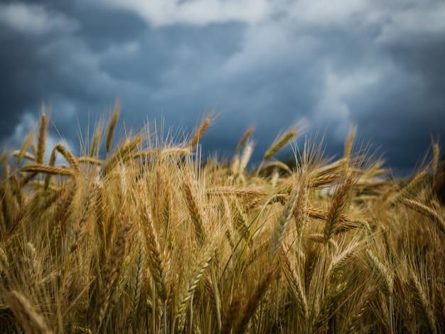 Żółty pszeniczny pole pod ciemnym burzy chmury niebem