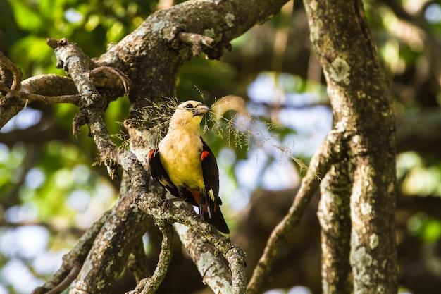 Żółty ptak na drzewie. hangbird. tarangire, tanzania