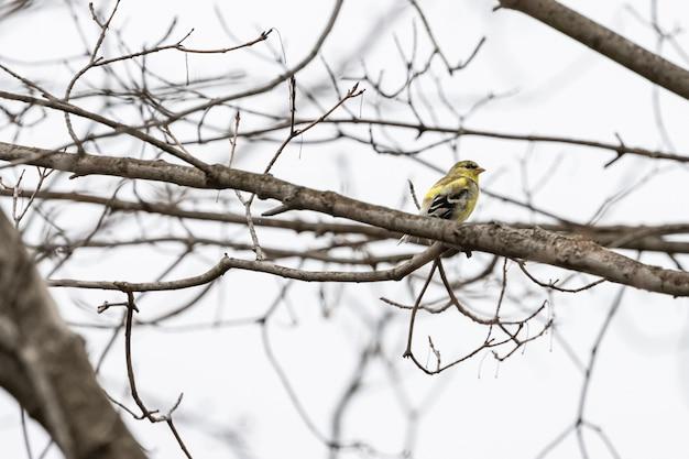 Żółty ptak na gałęzi drzewa z niewyraźnym tłem
