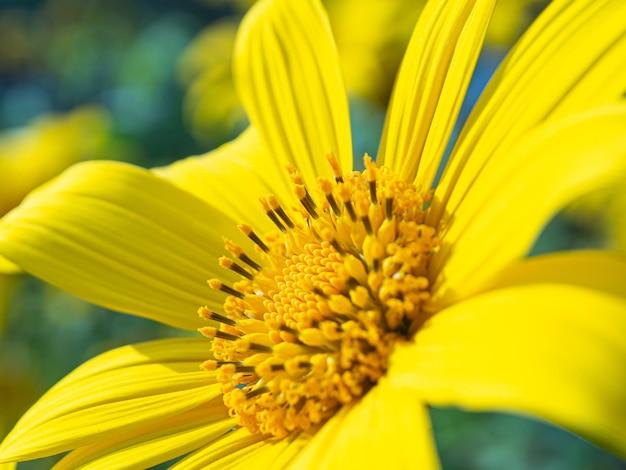 Żółty pyłek słonecznika w pełnym rozkwicie