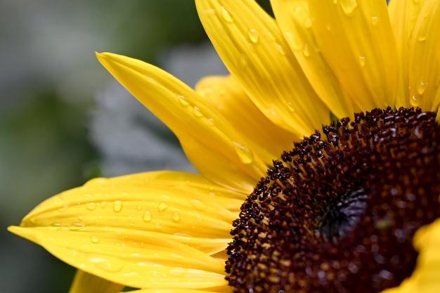 Żółty słonecznik z kroplami wody na płatkach