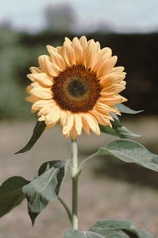 Żółty słonecznik z zielonymi liśćmi