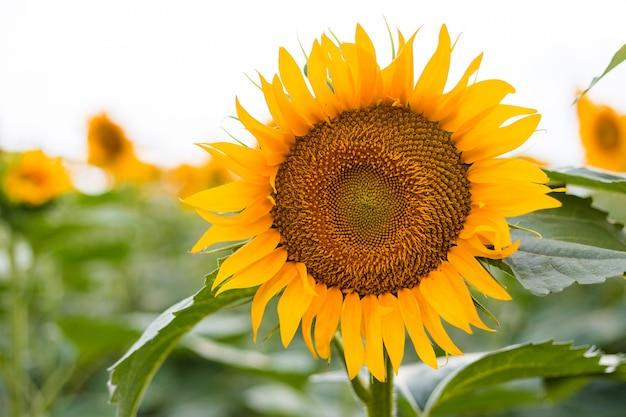 Żółty słonecznikowy krajobraz wiejski pola. produkcja oleju w rolnictwie w czasie żniw. zdrowe oleje