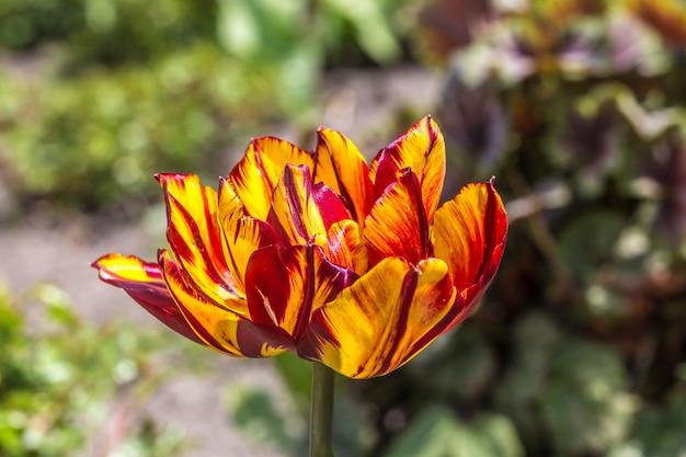 Żółty terry z czerwonym tulipanowym zbliżeniem