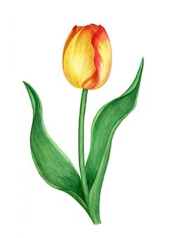 Żółty tulipan na białym tle akwarela ilustracja