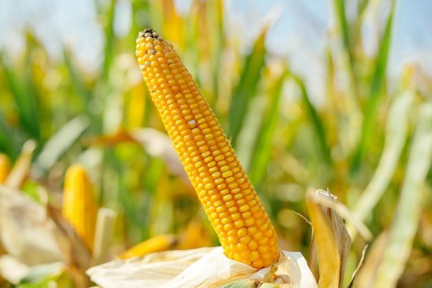 Żółty ucho kukurudza w polu