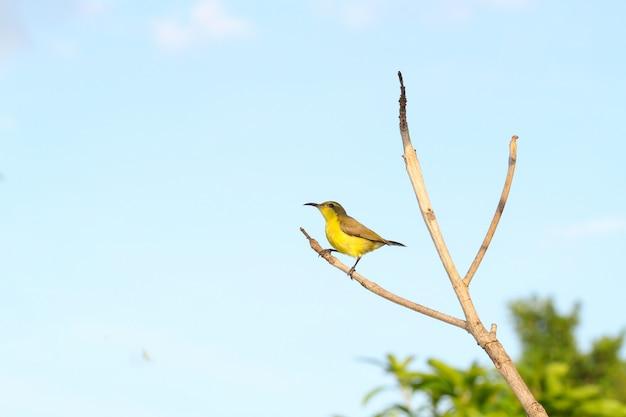 Żółty wilga ptak na kija drzewie w ogródzie przy thailand