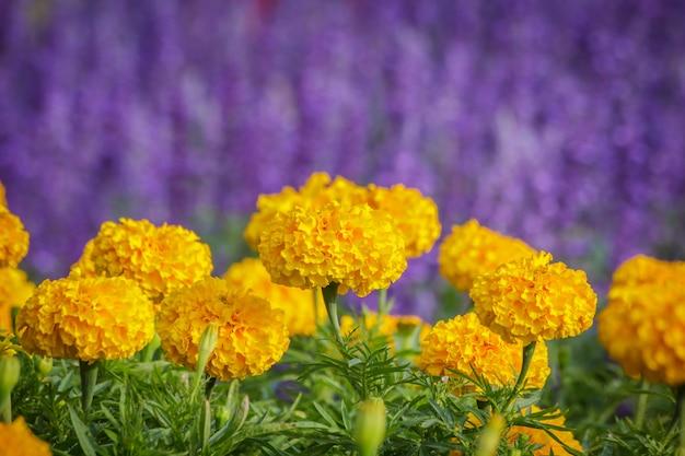 Żółty złoty kwiat, nagietek