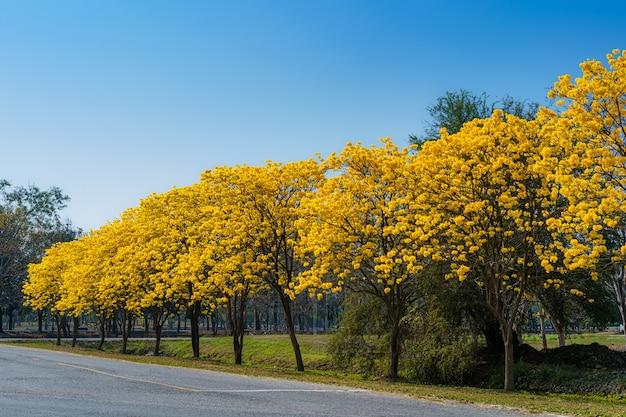 Żółty złoty tabebuia chrysotricha przydroża drzewa z parku w pibulsongkram rajabhat university krajobraz na tle błękitnego nieba. miejsce publiczne w phitsanulok w tajlandii.