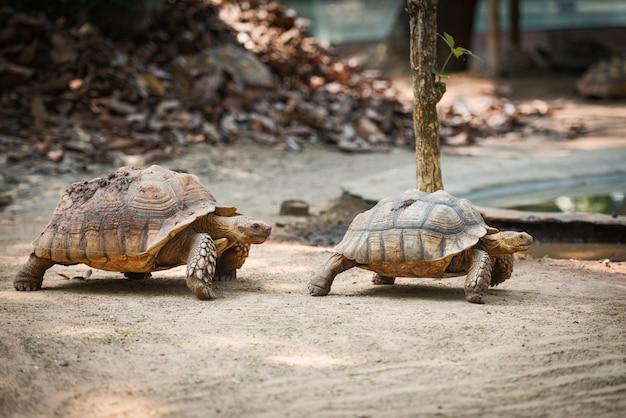 Żółw afrykański pobudzony