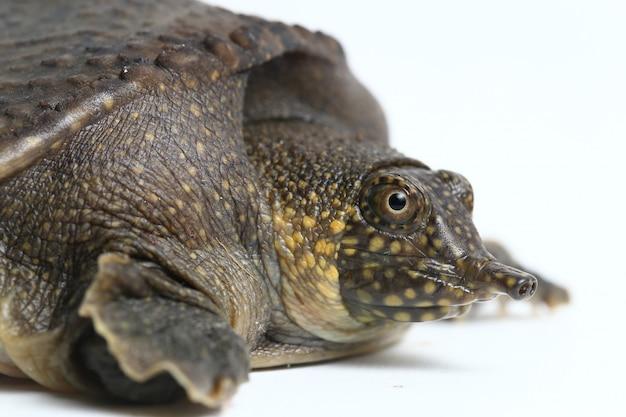 Żółw azjatycki softshell na białym tle
