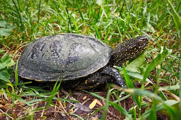 Żółw błotny (emys orbicularis) na trawie