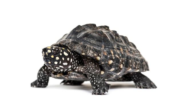 Żółw błotny, geoclemys hamiltonii, izolowany
