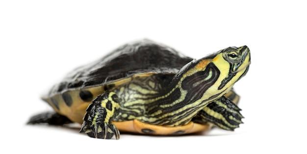 Żółw błotny, na białym tle