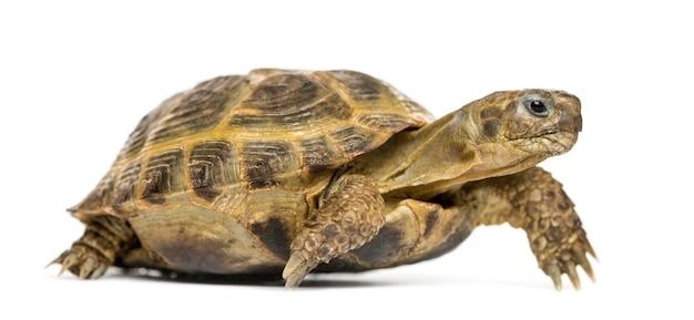Żółw, chodzenie, na białym tle