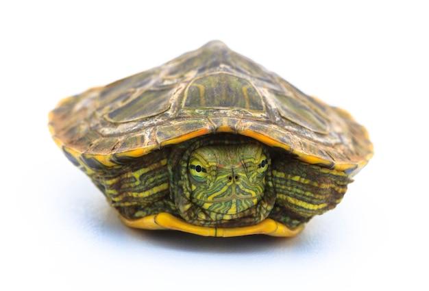 Żółw chowający się w skorupkach