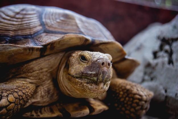 Żółw coahuilan w ogrodzie zwrotnika. terrapene coahuila. zwierząt