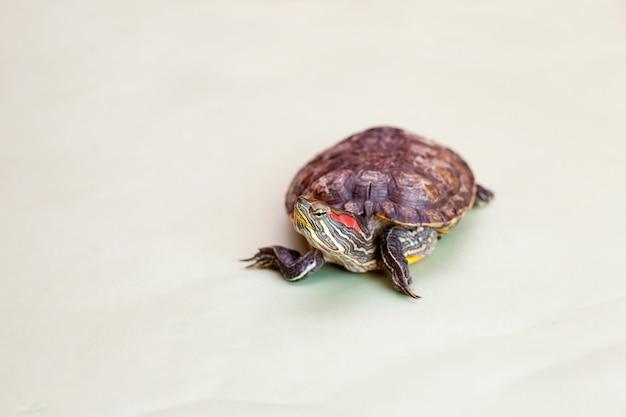 Żółw czerwonolicy na jasnozielonym tle