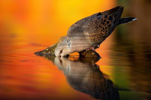 Żółw europejski pije z rzeki jesienią