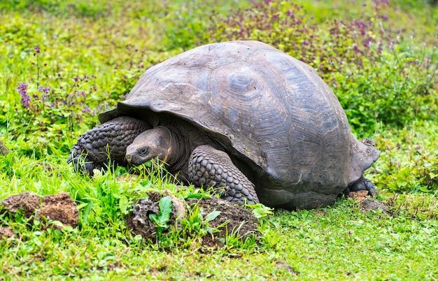 Żółw galapagos (chelonoidis elephantopus) na tropikalnej wyspie galapagos. żółw olbrzymi (tortuga) w świecie zwierząt. obserwacja obszaru dzikiej przyrody. wakacyjna przygoda w ekwadorze