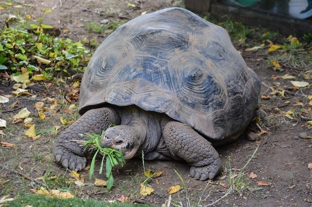 Żółw. giant galapagos żółw jedzący trawę londyńskie zoo.