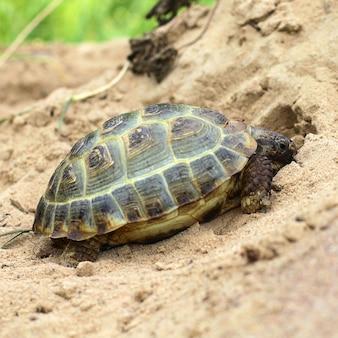 Żółw hermanna, testudo hermanni
