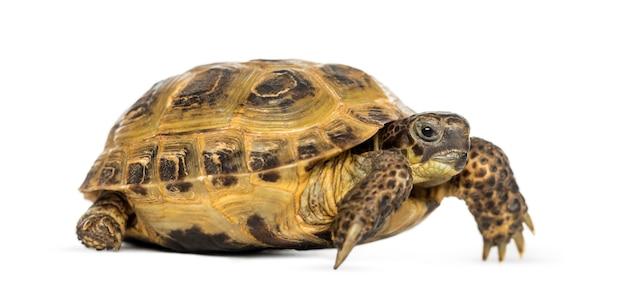 Żółw horsfield, testudo horsfieldii, na białym tle