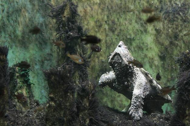 Żółw jaszczurowaty aligator w szopy akwarium chicago il usa