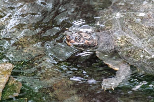 Żółw jaszczurowaty w jeziorze otoczonym skałami i liśćmi w ciągu dnia pod słońcem