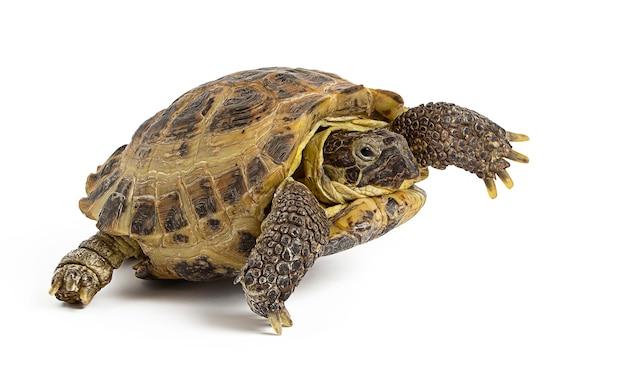 Żółw lądowy na białym tle na białej powierzchni