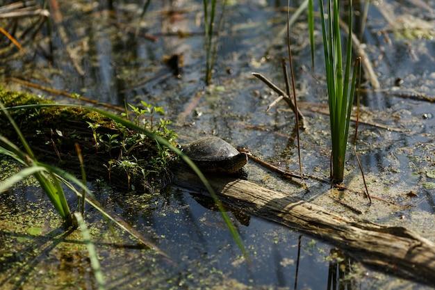 Żółw little river czołga się po zarośniętym kłodzie błotnym dzikie, nietknięte zwierzę przyrody w naturalnym środowisku