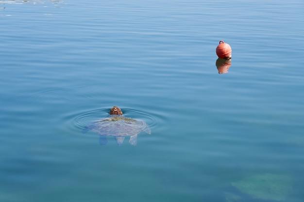 Żółw morski pływa w tropikalnej wodzie morskiej.