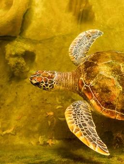 Żółw morski w stawie ratunkowym czekam na powrót do morza